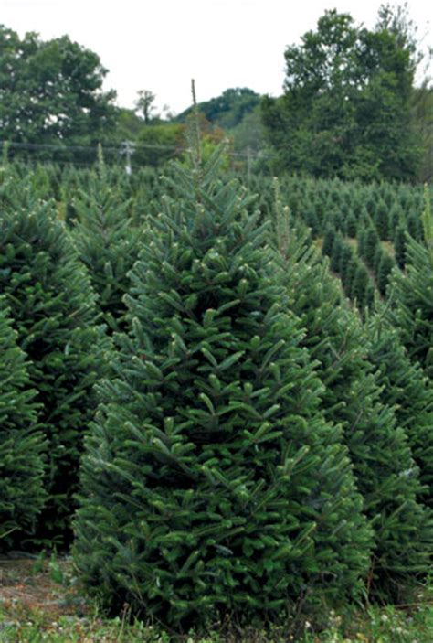 christmas tree fraser fir wholesale christmas tree farms