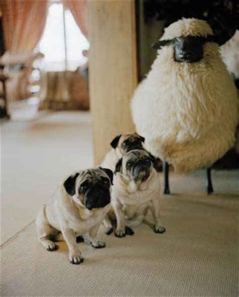 sheep pug pug sheep and valentino on