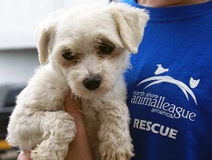 is premier pups a puppy mill shore animal league america to welcome 65 dogs rescued from puppy mills 171 cbs