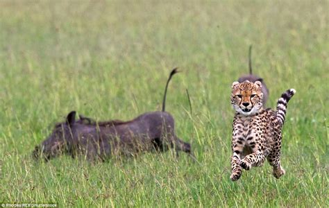 Turns Cheetah by Cheetah Runs For Its After Two Warthogs Fight Back In
