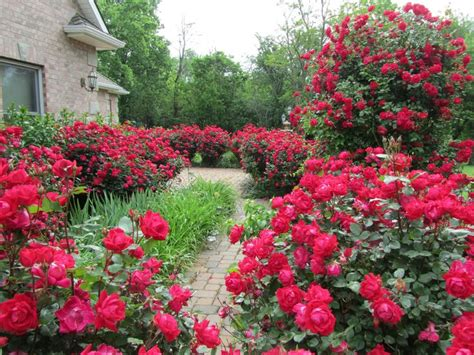 knockout colors best 25 knockout roses ideas on