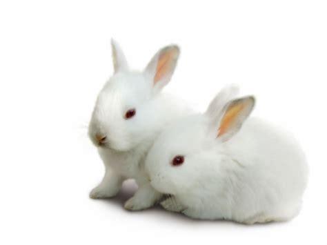 black and white rabbit wallpaper photo collection wallpaper white rabbit