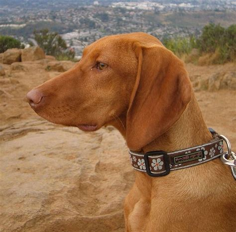 vizsla puppies az sporting dogs association of arizona all thing sporting dogs