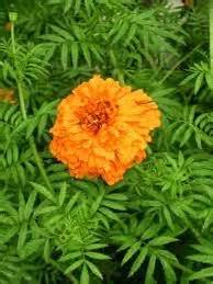 Bibit Bunga Gemitir upadhana bunga kaitannya dengan sarana sembahyang