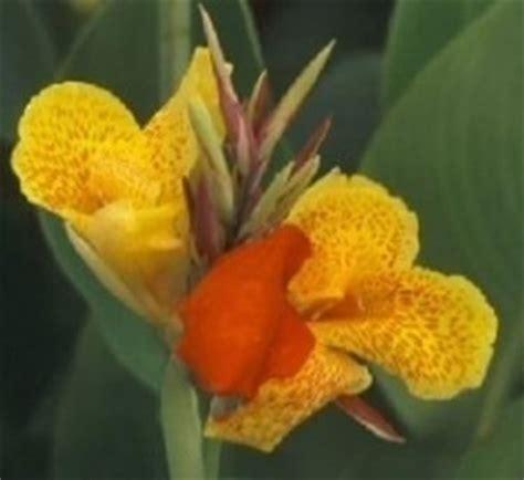 canna indica in vaso canna da fiore canna indica canna indica bulbi