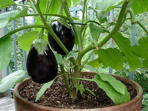 How to Grow Eggplant in Pots or Containers   Plant