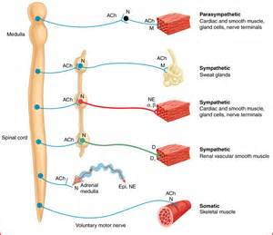 diagram of autonomic nervous system autonomic nervous system diagram 28 images nerves