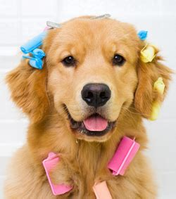 how to stop golden retriever from shedding shedding and how to it