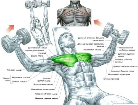 bench press muscles worked exercise instructions incline dumbbell flys hit the upper