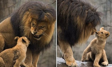 footage  moment papa lion meets baby cubs   time