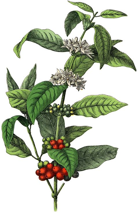 coffee plant wallpaper free stock image coffee plant the graphics fairy