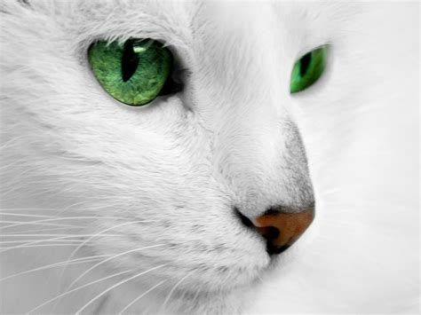 Bibit Eye Cat White white cat with green by reconreno on deviantart