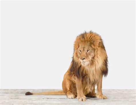 lion print lion no 1 the animal print shop by sharon montrose