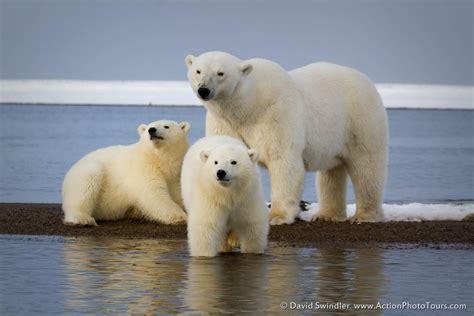 Two Polar Bears In A Bathtub by Photographing Alaskan Polar Bears Part 2