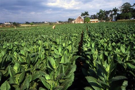 harvesting plantations in tarkeeth state louisiana and crops mysteries in history