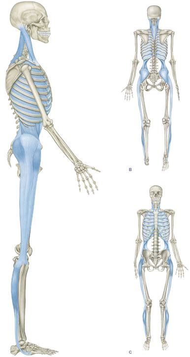 cadenas musculares thomas myers pdf functional anatomy for sports and cycling