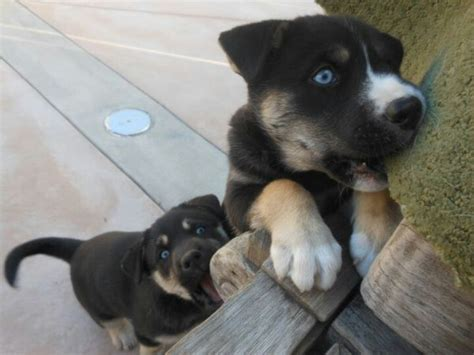 rottweiler mixed with husky blueeyed rottweiler siberianhusky lab mix puppies my future pets