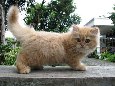 Boneka Kucing Anggora Lucu Putih Abu2 jenis jenis kucing paling digemari catlovers