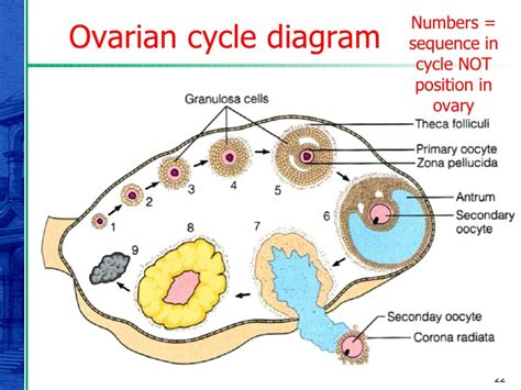 ovaries diagram ovary diagram related keywords ovary diagram