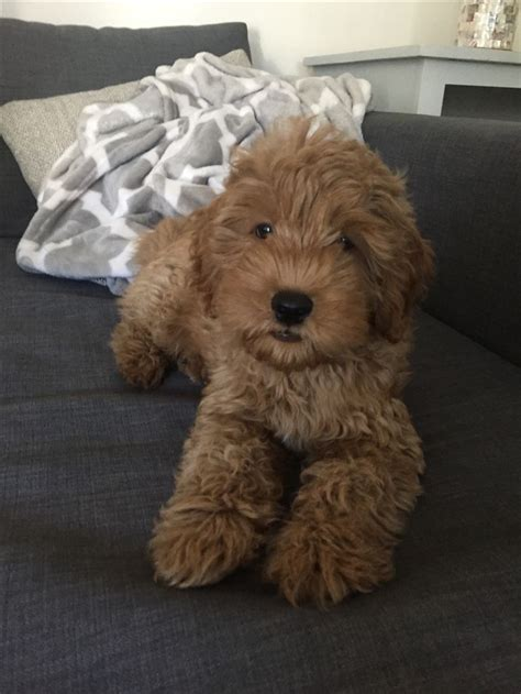 mini goldendoodle new jersey best 25 f1b goldendoodle ideas on