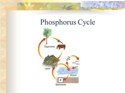 phosphorus cycle diagram and explanation the gallery for gt phosphorus cycle diagram and explanation