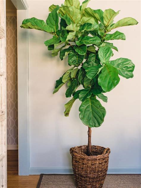 fiddle fig tree houseplants guide page 02 decorating home garden television
