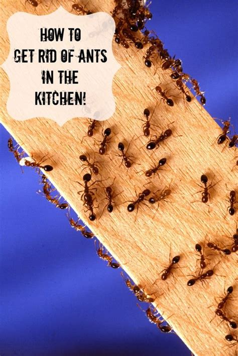 how to get rid of ants in the kitchen home cleaning