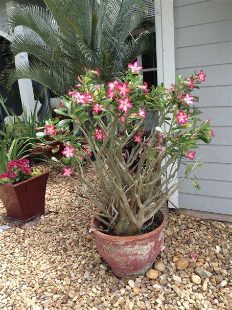 Plant of the Week: The Desert Rose Construction Landscape