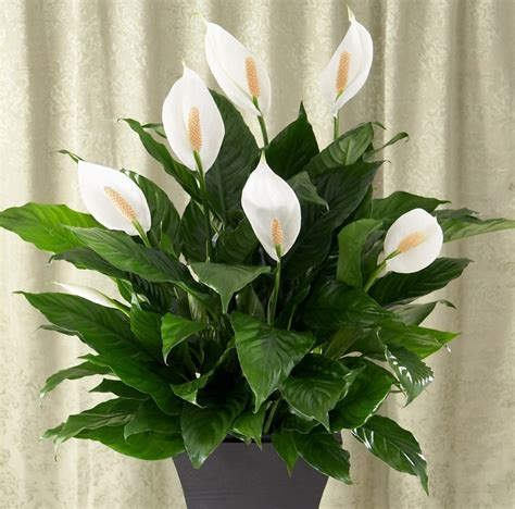 pianta con fiori bianchi tipo calla piante mese di marzo dichio