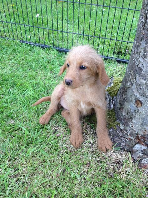 labradoodles puppies for sale hshire miniature labradoodle crewe cheshire
