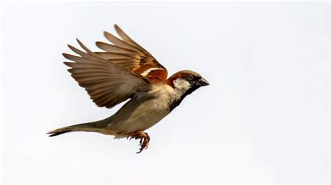 what does the sparrow symbolize reference com