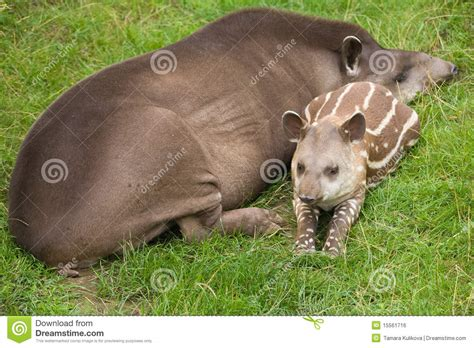 Easy Program To Draw Floor Plans south american tapir royalty free stock image image