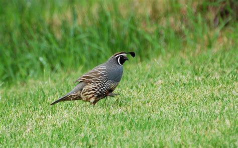 quail birds guide