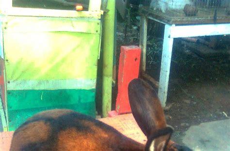Jual Bibit Flemish kelinci jual kelinci peternakan kelincikelinci