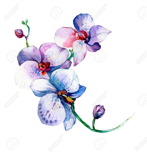 drawn orchid watercolour pencil and in color drawn