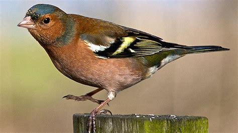 Garden Birds by Wales Nature Garden Bird Pictures