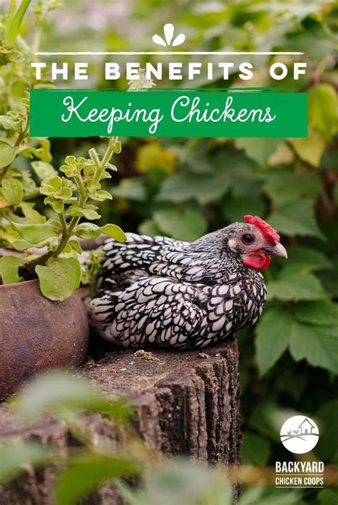 1526 best chickens raising chickens images on
