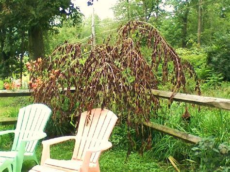 cherry tree rehab weeping cherry tree fungus garden design ideas
