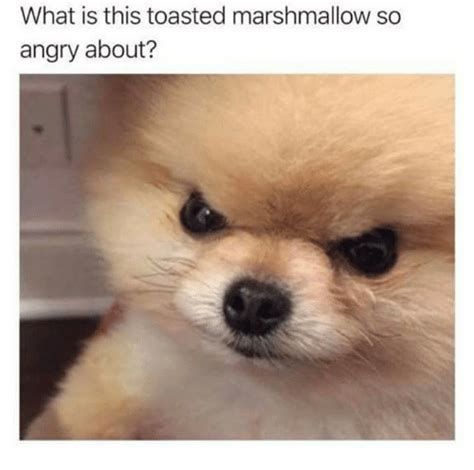 marshmello dog video what is this toasted marshmallow so angry about what is