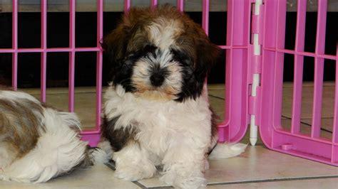 havanese breeders in ga havanese puppies picture ga breeders guide