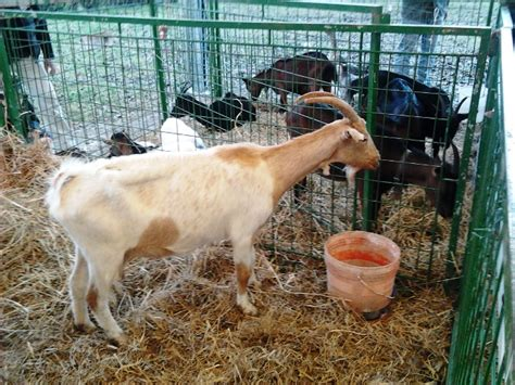 fiere animali da cortile alla buca palio torna l antica fiera bestiame