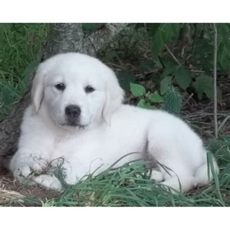 golden retriever dogs for sale in michigan platinum goldens golden retriever breeder in interlochen michigan listing id 17401