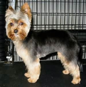 yorkie haircuts for a silky coat 17 best images about yorkies on pinterest yorkshire
