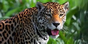Jaguars Moving To La Le Jaguar Description Lieu De Vie Alimentation