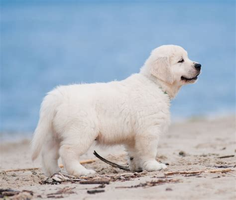 white golden retriever california white golden retriever puppies available now contact us