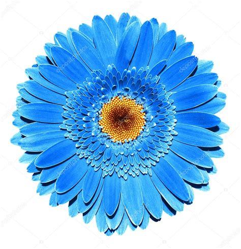 printable blue flowers surreal dark chrome blue gerbera flower macro isolated on