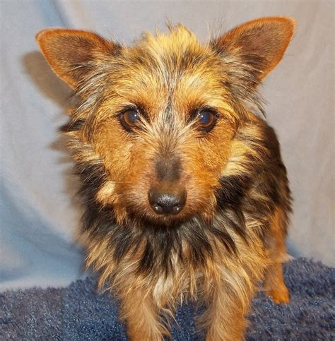 why does my yorkie in the house can yorkies curly hair yorkie mix that has wiry curly hair terrier