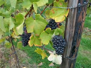Trellis For Grapevines Table Grape Garden Coach Photos