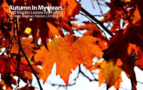 daun daun pokok maple yang bertukar kemerahan back lighting style yang penuh keterujaan