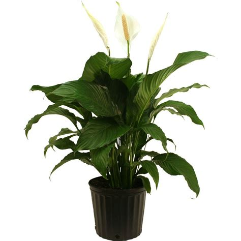 delray plants spathiphyllum sweet pablo in 9 1 4 in pot